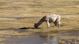 Voyage lama Argentine