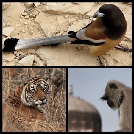 animals_ranthambore_neorizons